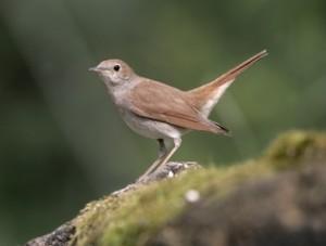 Nightingale, Luscinia megarhynchos,
